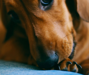 Why do dogs chew on their paws