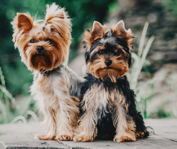Yorkshire Terrier Breed Facts and Temperament