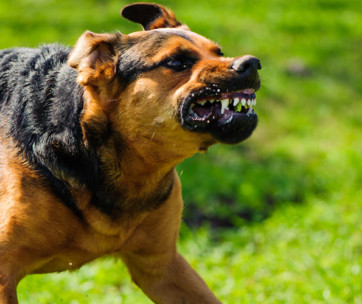 aggression in dogs signs, causes, types, and solutions