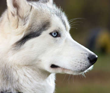dog breeds with breathtaking blue eyes