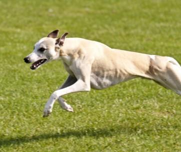 fastest dog breeds
