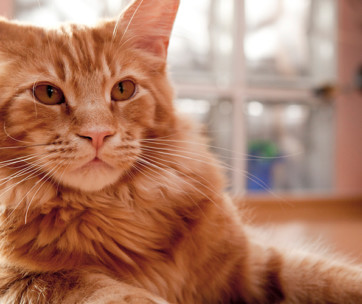maine coon cat cat breed information, characteristics, and facts