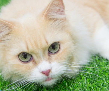 munchkin cat cat breed information, characteristics, and facts