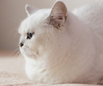 obesity in cats and how to put a cat on a diet