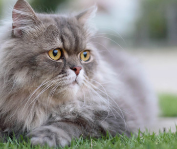 persian cat cat breed information, characteristics & facts