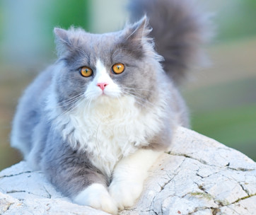 ragdoll cats cat breed information, characteristics, and facts