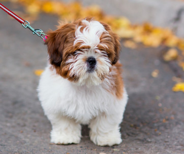 shih-poo shih-tzu poodle mix breed facts & temperament