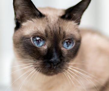 siamese cat cat breed information, characteristics & facts