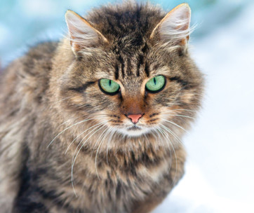 siberian cat cat breed information, characteristics, and facts
