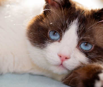 snowshoe cat cat breed information, characteristics and facts