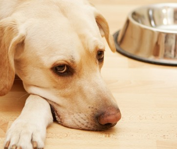 tips to cure dog's upset stomach
