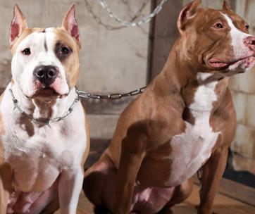 types of pitbulls