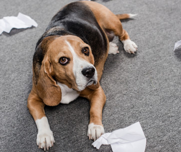 why does my dog eat paper